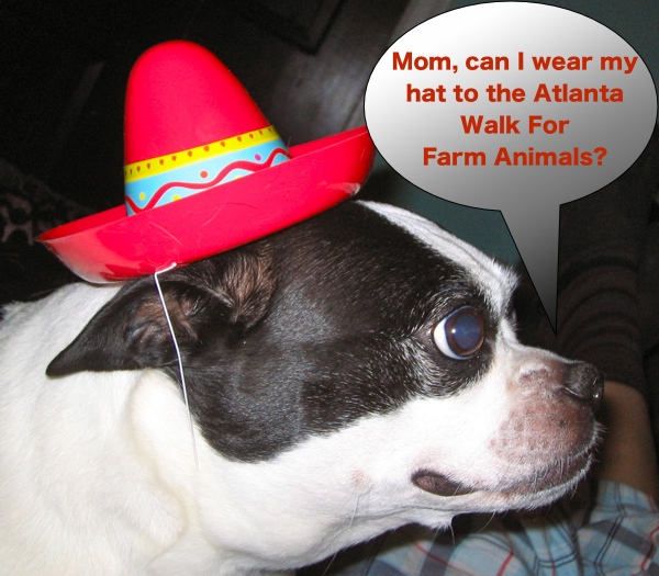 boston terrier in a hat